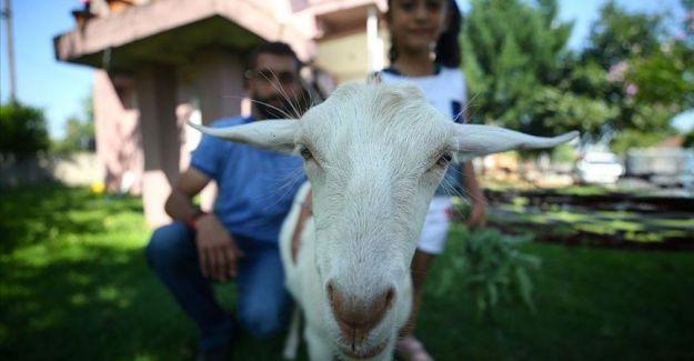 Annesi tarafından reddedilen keçiye ailece özenle bakıyorlar