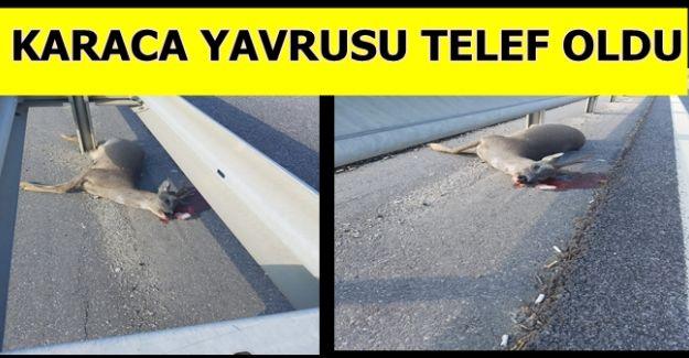 KARACA YAVRUSU TELEF OLDU