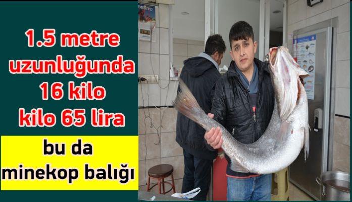 """Akçakoca'da 16 kilo ağırlığında """"Minekop"""" balığı yakalandı (video haber)"""