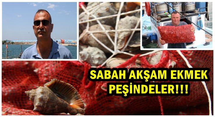 """Balıkçıların geçim kaynağı """" Salyangoz"""" oldu"""