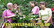 FINDIK İŞÇİSİ YEVMİYESİ BELLİ OLDU:...
