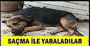 """KÖPEĞİ """"SAMCA"""" İLE YARALADILAR"""