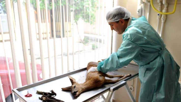 Yaralı Yavru Karaca Koruma Altına Alındı